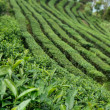 Tea field — Stock Photo