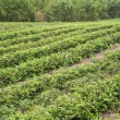 Farm of tea — Stock Photo #3781141