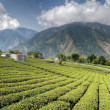 Tea farm — Stock Photo #3858357
