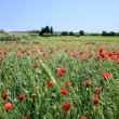 Red poppy field - Stock Photo