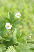 Wild Srawberry plant with flowers — Stock Photo