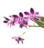 Purple orchid isolated on white background — Stock Photo