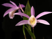 Orchids pleione isolated on black — Stock Photo