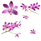 Collection of Purple Dendrobium orchids — Stock Photo