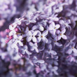 Close-up beautiful lilac flowers — Stockfoto