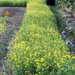 White mustard (Sinapis alba). — Stock Photo #2922728