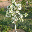 Flowering of a dwarfish apple-tree — Stock Photo