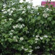 Viburnum flowering — Photo
