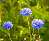 Cornflower blossoms in a meadow — Stock Photo