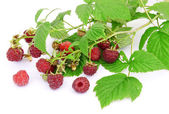 Raspberry berries on a white background — Stock Photo