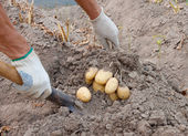 Dig potatoes — Stock Photo