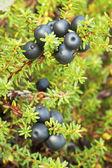 Crowberry (Empetrum) — Stock Photo