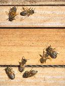 пчелы — Стоковое фото