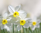 Narcissus — Stockfoto