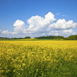 Raps field - Stock Photo