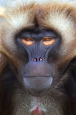 Ape — Stock Photo