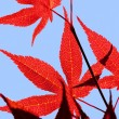 Royalty-Free Stock Photo: Maple leaf