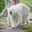 Stock Photo: Ice bear