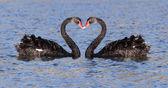 черный лебедь — Стоковое фото