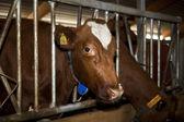 Feeding cow — Stock Photo