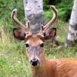 Stock Photo: Buck white-tailed deer looking at camera