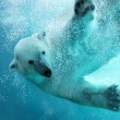 Polar bear underwater attack — Stock Photo #2857075