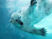 Podvodní útok ledního medvěda — Stock fotografie