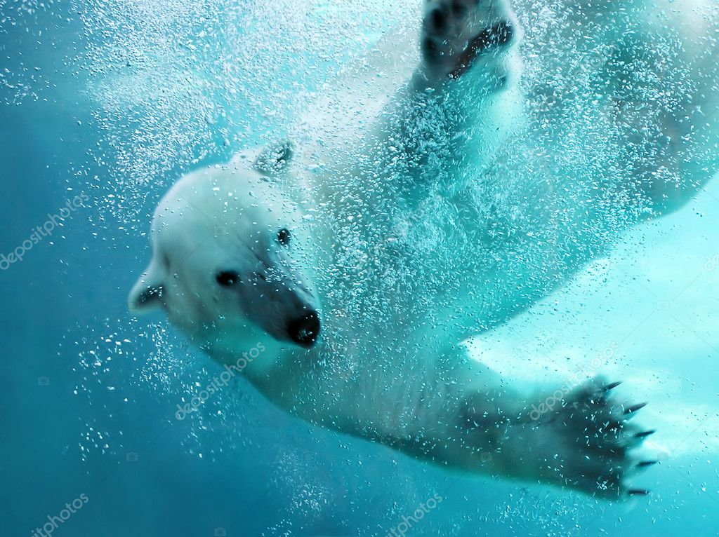 Polar bear attacking underwater with full paw blow details showing the extended claws, webbed fingers and lots of bubbles - bear looking at camera.    Stock Photo #2857075