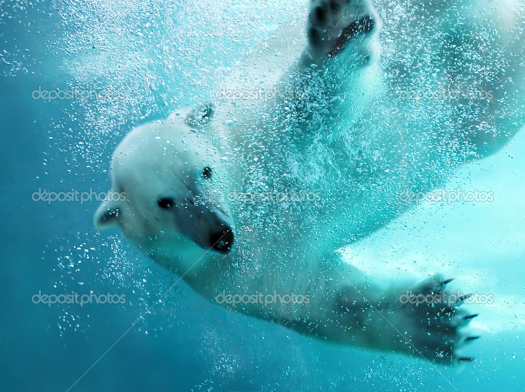 Polar bear attacking underwater with full paw blow details showing the extended claws, webbed fingers and lots of bubbles - bear looking at camera.   — Stock Photo #2857075
