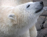 Wet polar bear close-up portrait — Stock Photo