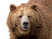 Grizzly close-up isolated on white — Stock Photo