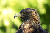 Golden eagle portrait — Stock Photo