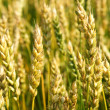 Ripening wheat — Stock Photo