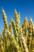 Vertical close-up of some wheat — Stock Photo