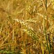 Vertical of barley field — Stock Photo