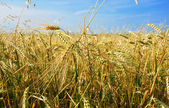 Barley field all directions — Stock Photo