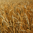 Ripe wheat field background — Stock Photo
