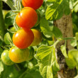 Colorful cherry tomatoes vertical — Stock Photo
