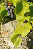 Vertical grapevines and rock — Stock Photo