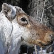 Stock Photo: Caribou reindeer portrait