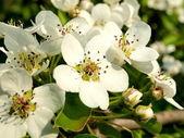Branch of flowering apple-tree — Stock Photo