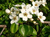 Flowering apple-tree — Stock Photo