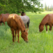 Horse graze — Stock Photo