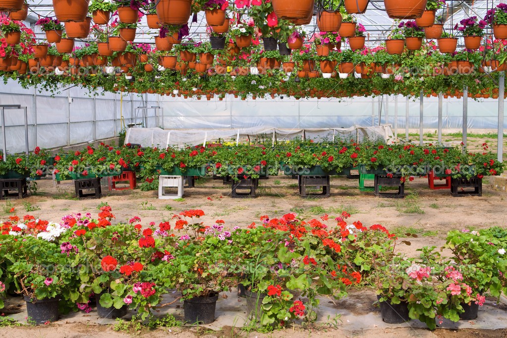 Glasshouse with pelargoniums — Stock Photo #2990088