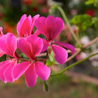 Pelargoniums — Stock Photo