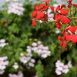 Pelargoniums - Stock Photo