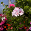 Pelargoniums — Stock Photo #3454622