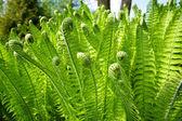 Green fern leaves — Stock Photo