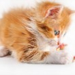Red-haired kitten playing — Stock Photo #3385391