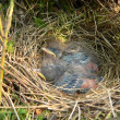 Nestlings of tree pipit — Stock Photo